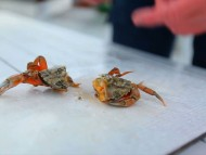 Aflivning af krabbber